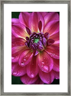 Dahlia Aglow Framed Print by Jessica Jenney