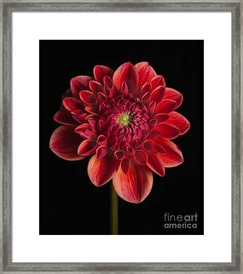 Dahlia 'all That Jazz' Framed Print