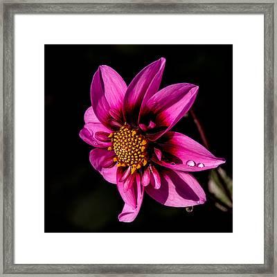Dahlia Bee Happy Framed Print by Julie Palencia