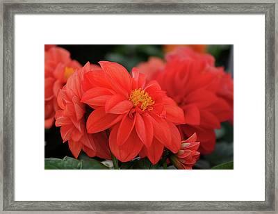 Dahlia Bloomer Framed Print