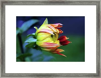 Dahlia Bud Framed Print by Jessica Jenney