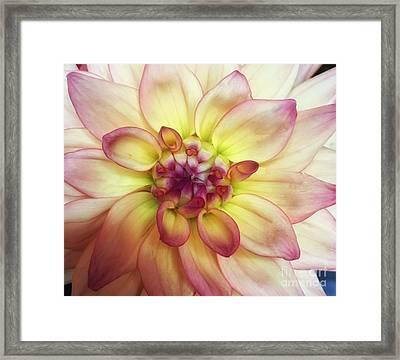 Dahlia Delight Framed Print
