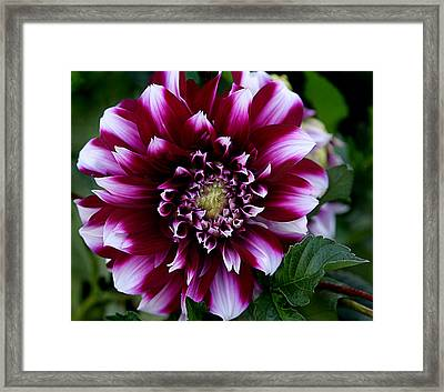 Framed Print featuring the photograph Dahlia by Denise Romano