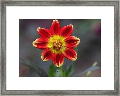 Dahlia Framed Print by Diane Giurco