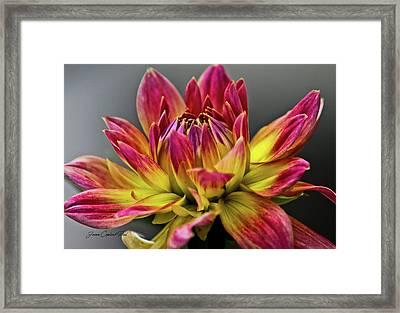 Dahlia Flame Framed Print by Joann Copeland-Paul