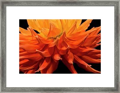 Dahlia Flower Closeup Framed Print by Randall Nyhof