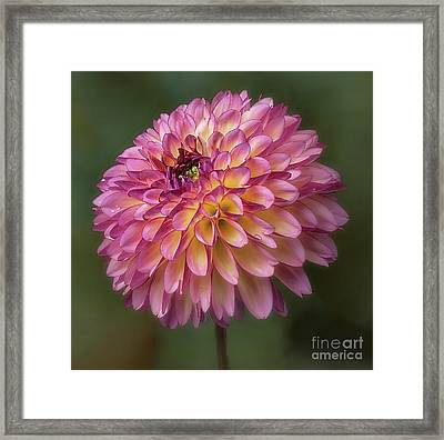 Framed Print featuring the photograph Dahlia 'foxy Lady' by Ann Jacobson