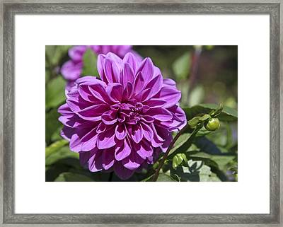 Dahlia Framed Print by Frank Russell