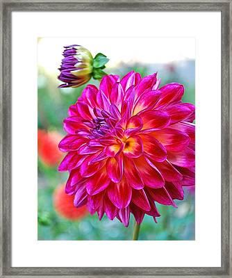 Dahlia Fuchsia Surprise  Framed Print
