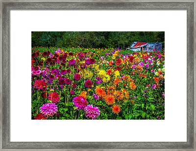 Dahlia Garden Oregon Framed Print by Garry Gay