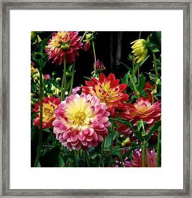 Dahlia Garden Time  Framed Print
