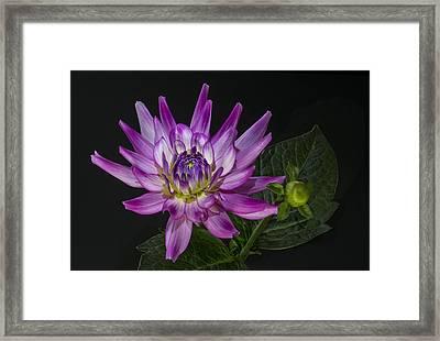 Dahlia Glow Framed Print by Roman Kurywczak