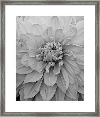 Dahlia In Black And White Framed Print by Patricia Strand