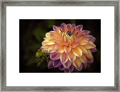 Dahlia In Peach And Lavender Framed Print by Julie Palencia