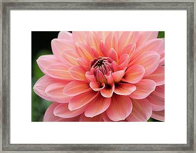 Dahlia In Pink And Peach Framed Print
