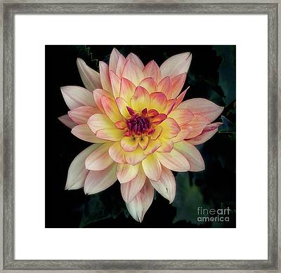 Framed Print featuring the photograph Dahlia 'keith H.' Redux by Ann Jacobson
