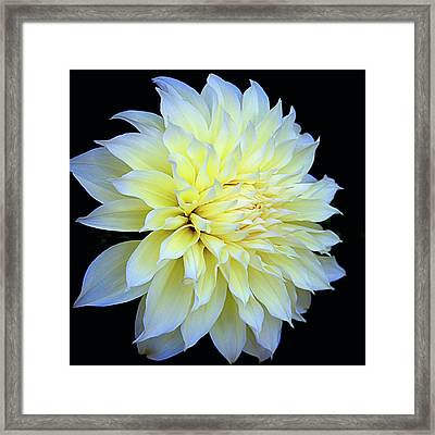 Dahlia Kelvin Floodlight Framed Print by Julie Palencia