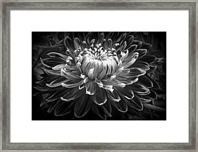 Dahlia Macro In Black And White Framed Print