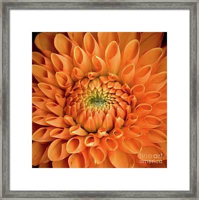 Dahlia Orange Twelve Framed Print by Christopher Gruver