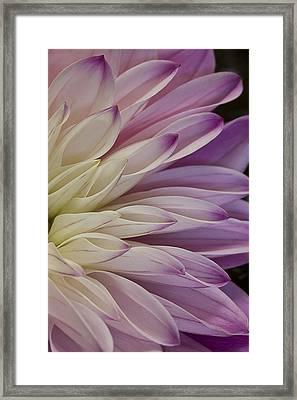 Dahlia Petals 2 Framed Print