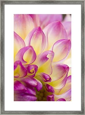 Dahlia Petals 5 Framed Print