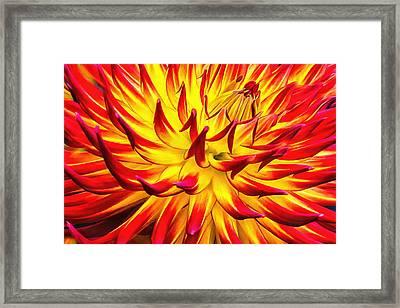Dahlia Pride Framed Print