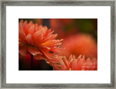 Dahlia Rainshower Framed Print by Mike Reid