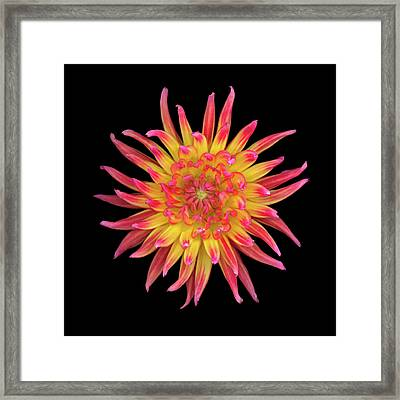 Dahlia Two Framed Print by Christopher Gruver