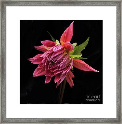 Dahlia 'wynn's King Salmon' Framed Print