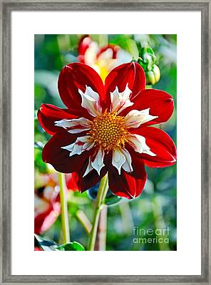 Dahlia's Beauty Framed Print