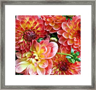 Dahlias Framed Print by Cathie Tyler