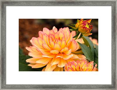 Dahlias In The Garden Framed Print