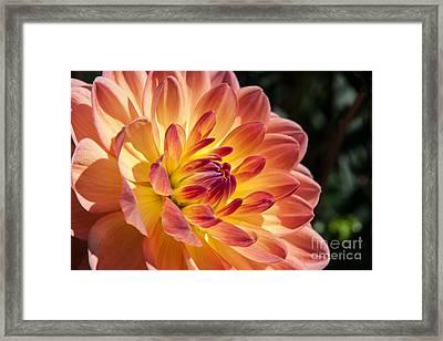 Dahlias Framed Print