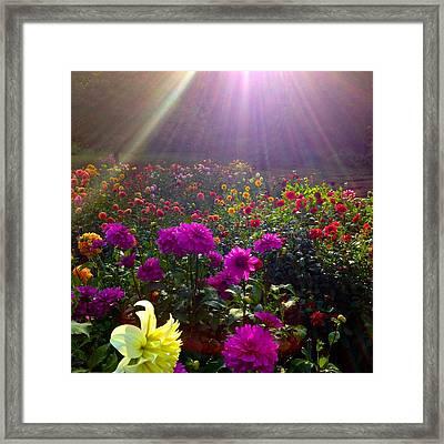 Dahlias Kissed By Sun-rays  Framed Print