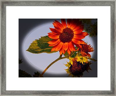 Dainty Red Sunflower Framed Print by Tina M Wenger
