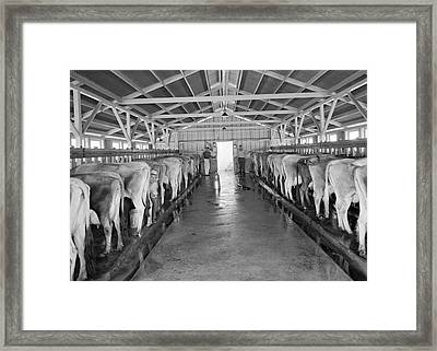 Dairy Cooperative Milking Time Framed Print by Dorothea Lange