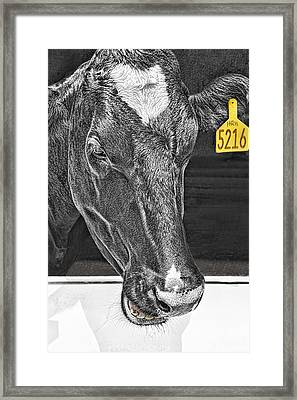 Dairy Cow Number 5216 Framed Print