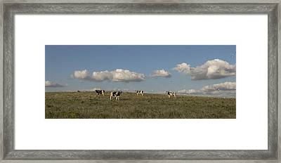 Dairy Cows And Egrets Framed Print
