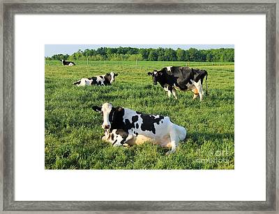 Dairy Cows Framed Print by Anthony Djordjevic