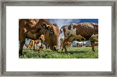 Dairy Cows With Electronic Collars Framed Print by Panoramic Images