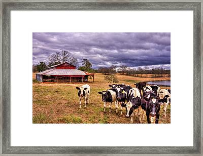Dairy Heifer Groupies The Red Barn Art Framed Print