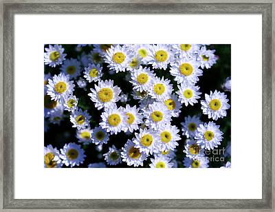 Daisies Are Like Sunshine To The Ground. Framed Print by Fir Mamat