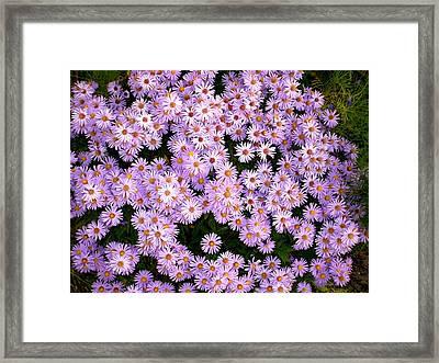 Daisies Framed Print by Bethwyn Mills