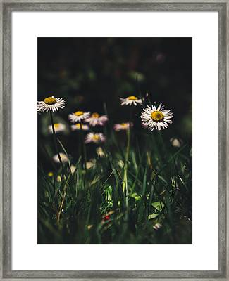Daisies Framed Print by Cesare Bargiggia