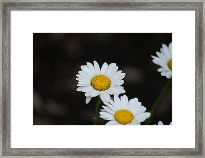 Daisies Framed Print by Heather Green