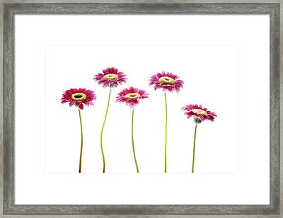 Framed Print featuring the photograph Daisies In A Row by Rebecca Cozart