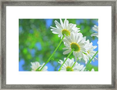 Daisies In Sunlight Framed Print by Poppy Thomas-Hill