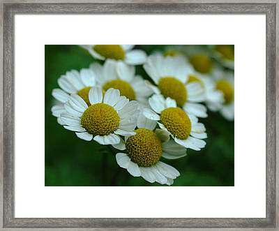 Daisies Framed Print by Juergen Roth