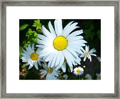 Daisies Framed Print by Ken Day