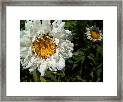 Framed Print featuring the photograph Daisy 2 by Robin Coaker